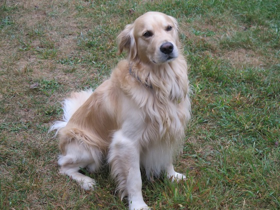 Moby, a Golden Retriever who lives in Summit, is ready to be blessed.